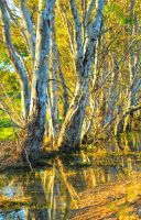 Gum Trees and Reflection 1 by Bluebuterfly72
