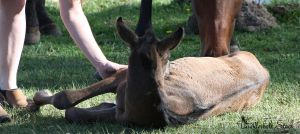 Foal Stock 2 by Thunderbolt-Designs
