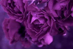 purple roses by mydecember90