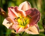 Lily for Lunch by StephGabler