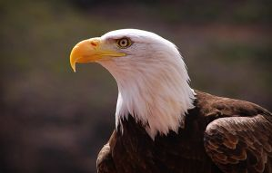 Eagle by S1ghtly