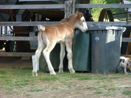 Clydesdale Foal 5 by How-You-Remind-Me