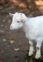Small white goat by NorthernLand