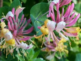 Honeysuckle Flowers II by MadGardens
