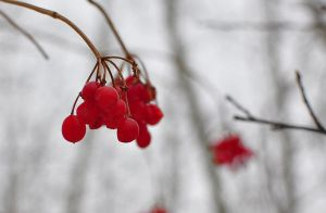 Winter Berries by hennatea