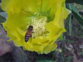Bee on Yellow Flower by my-dog-corky