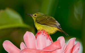 Olive Backed Sunbird by yourloveleaves