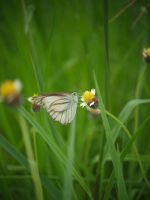 White Butterfly by SongYong