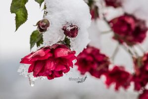 roses in the snow by kleinerEngl