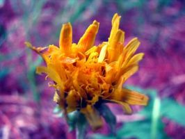 Wildflower by MihaiGrigorescu