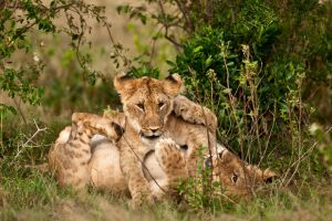 African Lion 25 by catman-suha