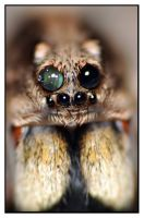 Wolf Spider Face - Eyes of Doom by Vorseth