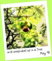 Wild weepinbell up in a tree by 0----0