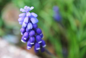 Grape Hyacinth by PeachCheeks