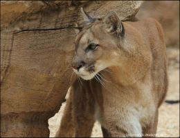 Cougar Photo Shoot 12 by SilkenWinds