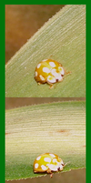Ladybird albino by Weirda208