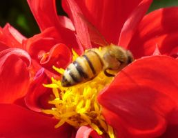 Bee On Red Dahlia by PamplemousseCeil