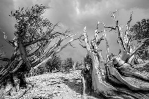 Bristlecone pines #1 by chuckplumber