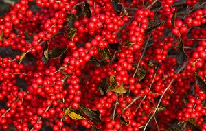 Winterberries Galore by muffet1