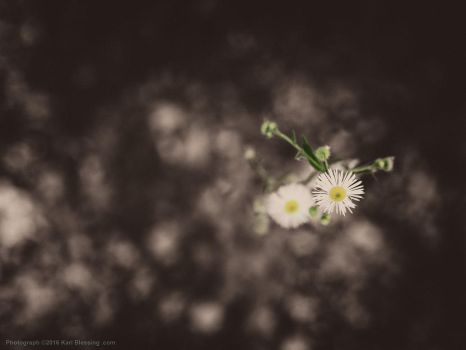 Tiny Little Wild Daisies by KBeezie