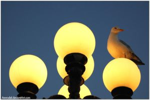 Seagull by amrodel