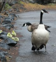 Pocatello Zoo 24 Geese by Falln-Stock