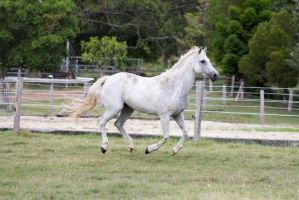 Dn white pony canter all legs off ground side view by Chunga-Stock