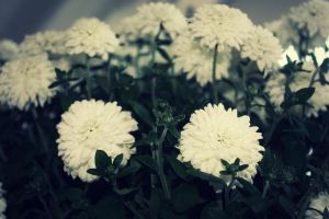 White Flowers by amandaehr
