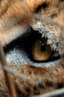 Cheetah Eye by LisaBaldo