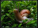 Snail by clsantos