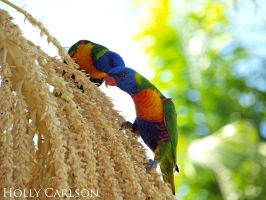 Lorikeets by hollybambam