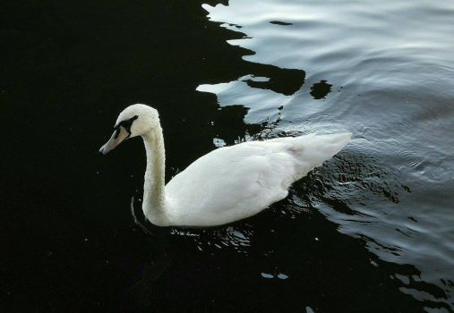 Swan by Liette-Official