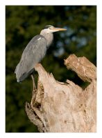Heron Perching by Neutron2K