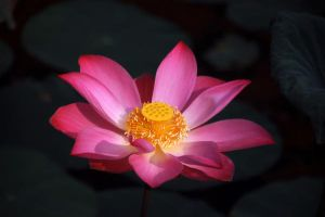 Lotus by toffeespin