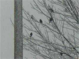 Black Birds in Winter by EtherealGothica