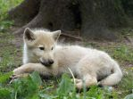 Young white wolf by ratinrage