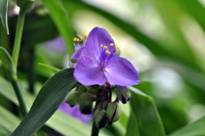 Spiderwort Flower by Blazemorioz