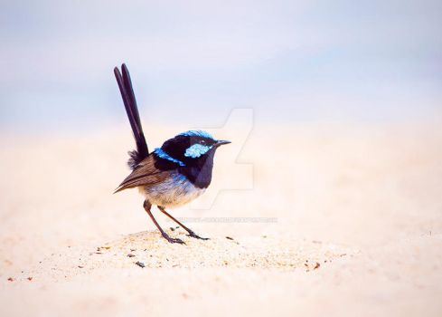 Blue Wren working on a tan by Whimsical-Dreams
