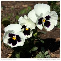 Pansy Pansy Pansy by In-the-picture
