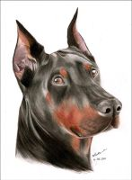 Doberman portrait by BanXiao