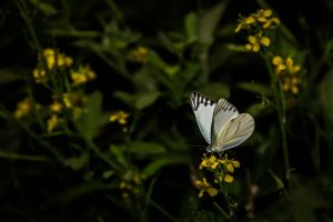 Common Cabbage Butterfly by SnapShotDataBase