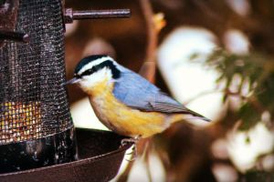 Red Breasted Nuthatch 2 by donnatello129