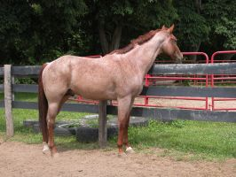 Zeke: Red Roan AQHA Stallion 2 by StridingStrong-Stock