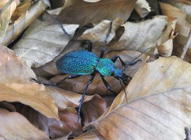 Carabus tauricus by ohlopkov