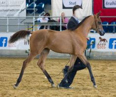STOCK - 2014 Arabian Gala-51 by fillyrox
