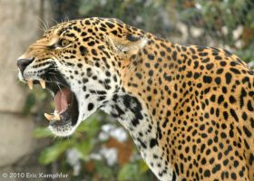 Jaguar Growl by EricKemphfer