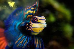 Mr. Mandarin II by FreeSpiritFotography