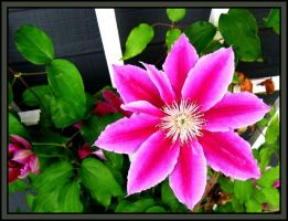 Clematis by midgard