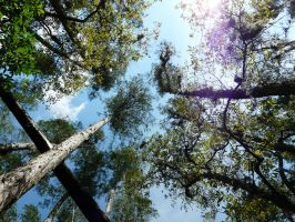 Looking up in Gatorland swamp by jelbo