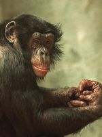 Bonobo Portrait by papatheo